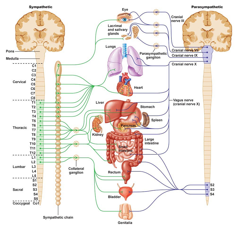 Diagram of the nervous system, Discover Life Chiropractic